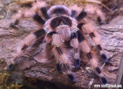 Brazilian tarantula