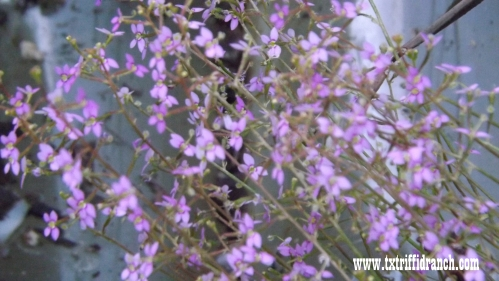 Stylidium debile blooms