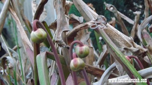 Sarracenia buds