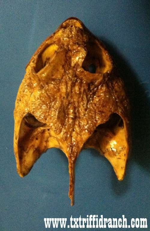 Snappping turtle skull