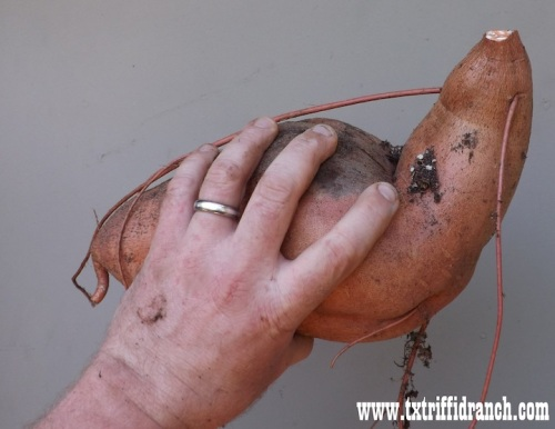 Monster sweet potato